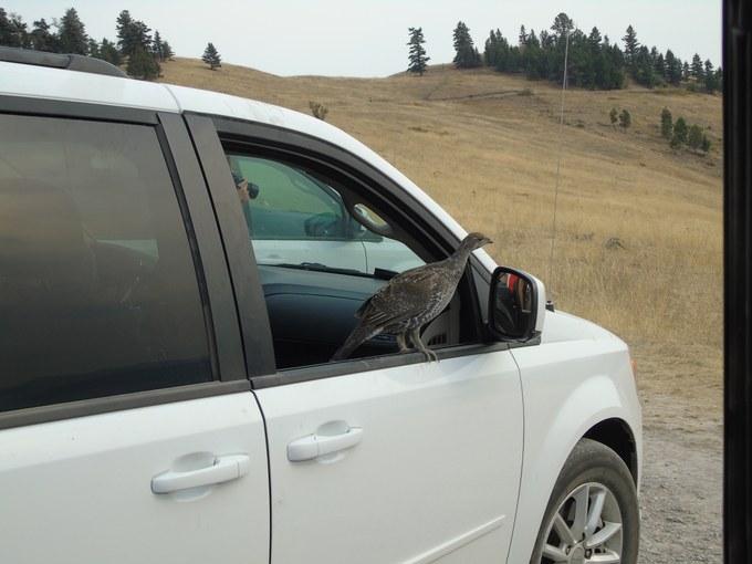 Abbildung15: Ungarisches Rebhuhn im Exkursionsauto. Quelle: Homuth 2016
