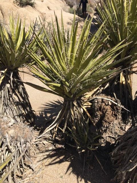 Abb. 15: Yucca schidigera. Quelle: Lammers 2018.