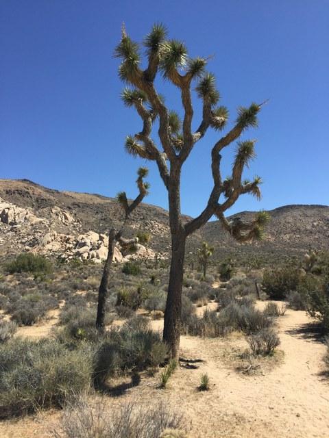 Abb. 16: Yucca brevifolia. Quelle: Lammers 2018.