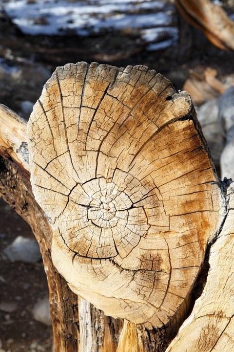 Abbildung 11: Ein umgestürzter Baum entlang des Discovery Trails. Quelle: Busche 2018.