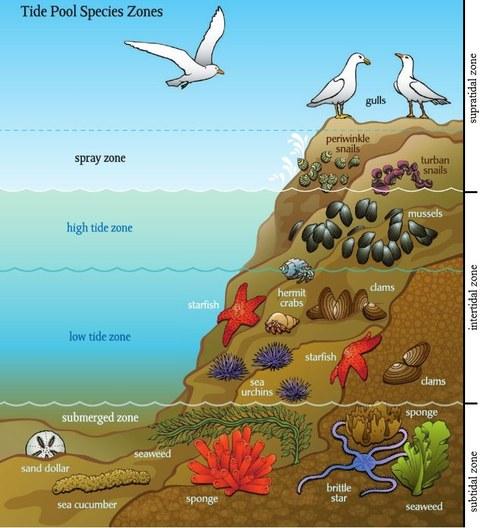 Abbildung 9: Zonierung der Tide Pools.  Quelle: verändert nach Malnig 2009, S. 9