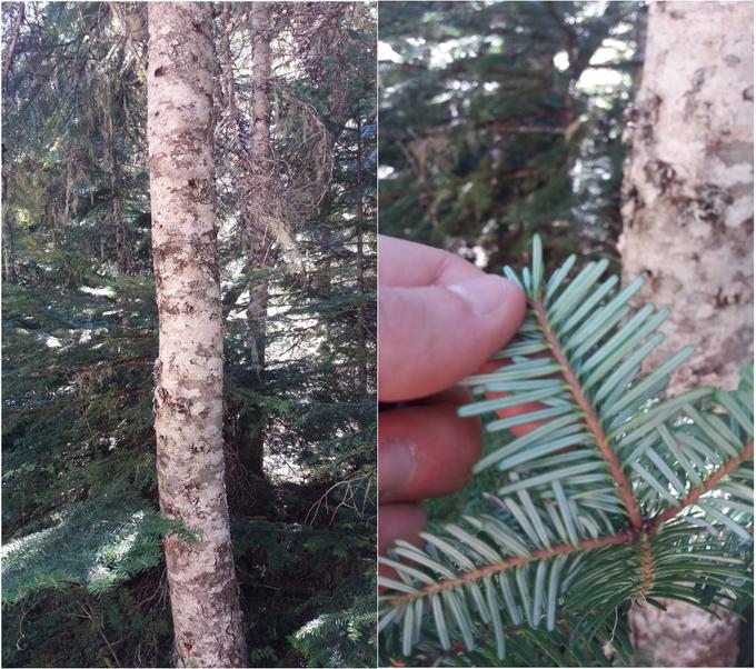 Wichtige Bestimmungsmerkmale von Bäumen sind neben der Größe und Form auch die Nadeln und die Rinde. Weitere wichtige Merkmale können z.B. die Zapfen oder die Zahl der Nadeln pro Nadelbündel sein. Foto: Beier 2016.