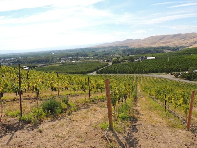 Abbildung 18: Blick über die Weinreben des Weinguts Owen Roe, dieses Gebiet wird stark bewässert und steht Windeinflüssen meist schutzlos gegenüber. Foto: Trampe 2016