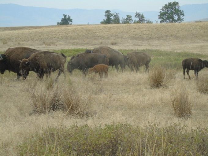 Abbildung11: Herde mit Kalb in der National Bison Range. Quelle: Homuth 2016