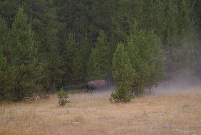 Abbildung 11: Ein Bison am Waldrand. Quelle: Riegel 2016