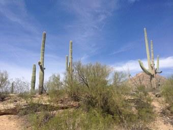 Abbildung 12: Der Saguaro in all seinen Lebenslagen. Quelle: Böhnert und Günther 2018