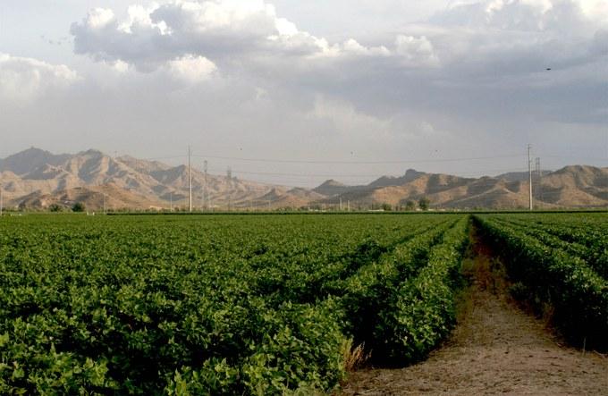 Abbildung 13: Grünes Baumwollfeld in sonst spärlicher Trockengebietsvegetation in Arizona. Quelle: Johnson 2010